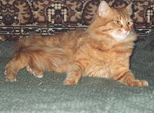 IC Grand Amadey Pride-E Siberian Cat, Red mackerel tabby   Siperiankissa IC Grand Amadey Pride-E, punatiikeri uros