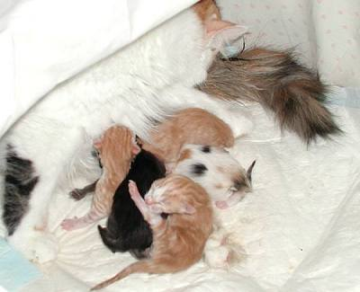 Siberian kittens a few hours after the birth