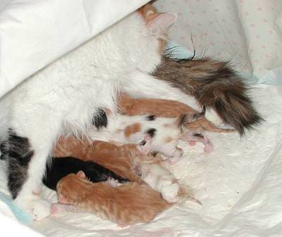 First meals right after the birth. A row of Siberian kittens.
